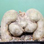 Monadenium rubellum 2 500 9x9sm