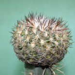 Pediocactus simpsonii 300 7x7sm