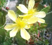 Pereskiopsis spathulata – цветение