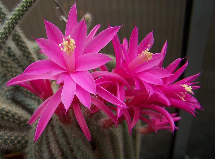 Цветки апорокактуса флагелиформиса