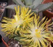 Цветки фаукарий