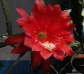 Цветок эпифиллюма