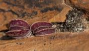Adromischus maculatus в местах обитания