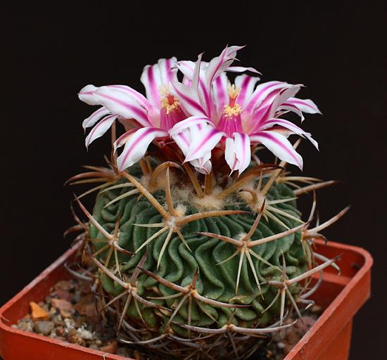 Echinofossulocactus (Stenocactus) erectocentrus