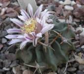 Echinofossulocactus (Stenocactus) crispatus v. longispinus