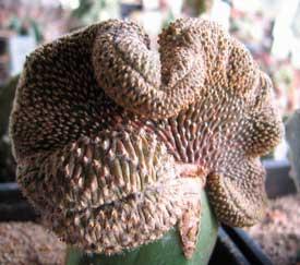 Geohintonia mexicana f. cristata