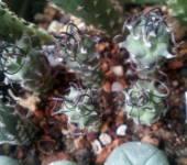 Turbinicarpus paolini