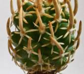 Navajoa peeblesiana(Навайя пееблезиана)
