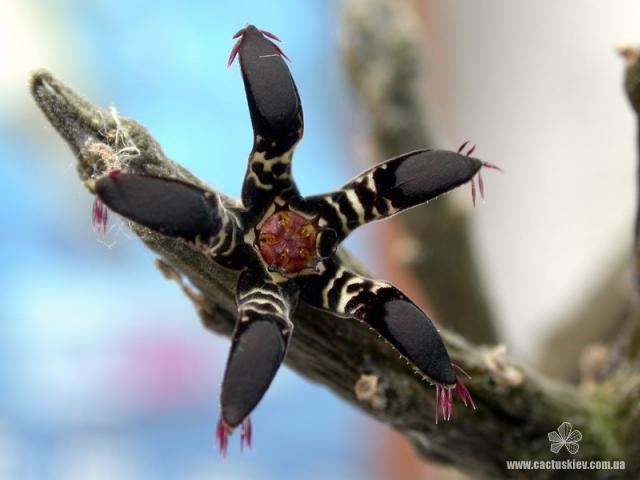 Редкости семейства Ластовневых – род Ритидокаулон (Rhytidocaulon)