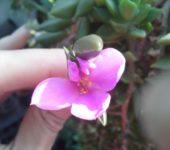 Anacampseros Rufescens с/с 30см