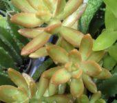 sedum nussbaumerianum (с/с чер 10см)