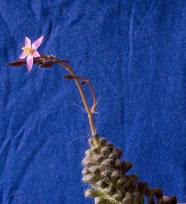 Anacampseros albidiflora
