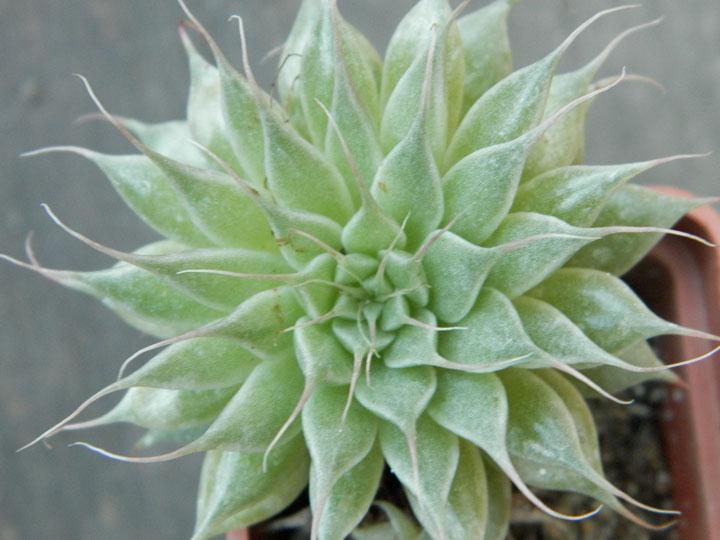 Graptopetallum 'Silver Star'