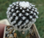 Copiapoa tenuissima f.monstrosa new clon 1