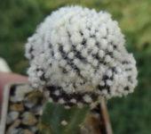 Copiapoa tenuissima f.monstrosa new clon 2