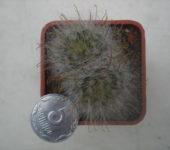 Mammillaria (Krainzia) guelzoviana