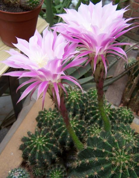 Ehinopsis hybr.