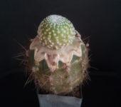 Blossfeldia companiflora