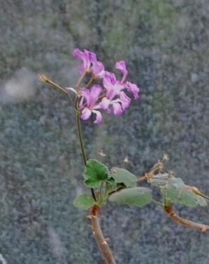 Pelargonium caylae