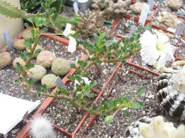 Саркокаулон с цветком