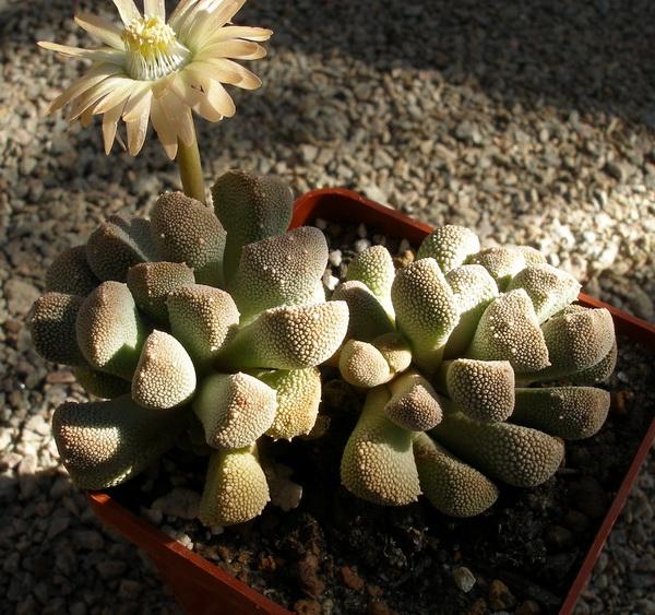 Aloinopsis luckhoffii
