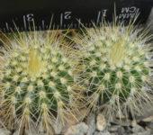 Notocactus (Eriocactus) claviceps HU500