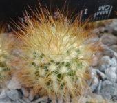 Melocactus perezazoi