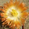 Цветок Pleiospilos nelii
