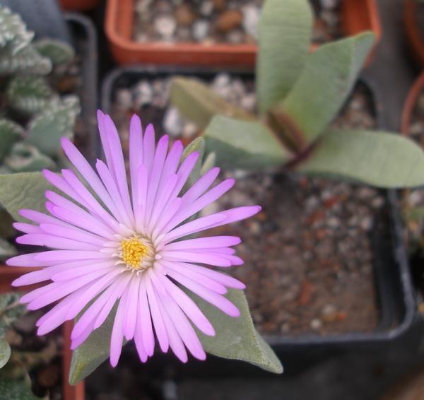 Цветок Cerochlamys pachyphylla