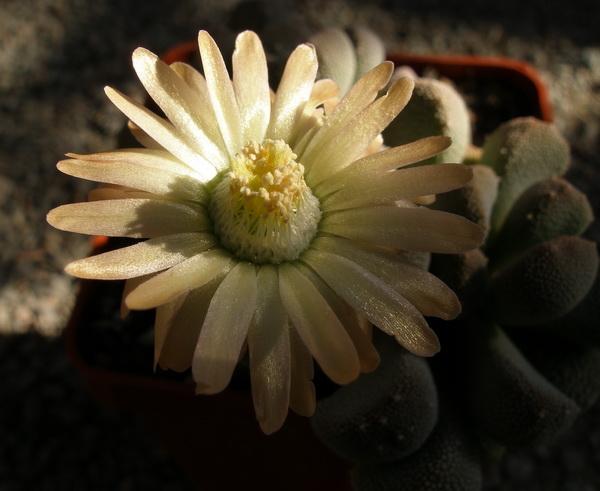 Цветок алоинопсиса крупным планом