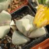Цветущая Lapidaria margaretae
