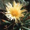 Цветущая Leuchtenbergia principis