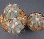 echinocactus horizonthalonius