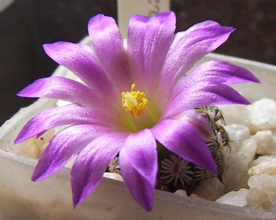 Mammillaria hernandezii