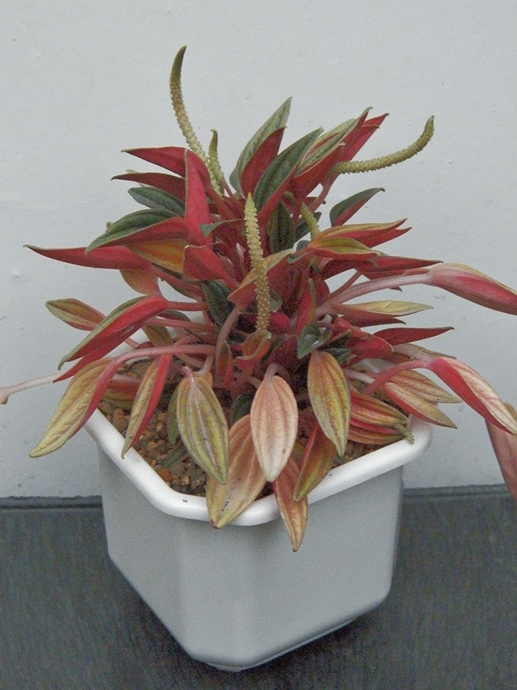 Peperomia caperata cv. 'Rosso' с цветками