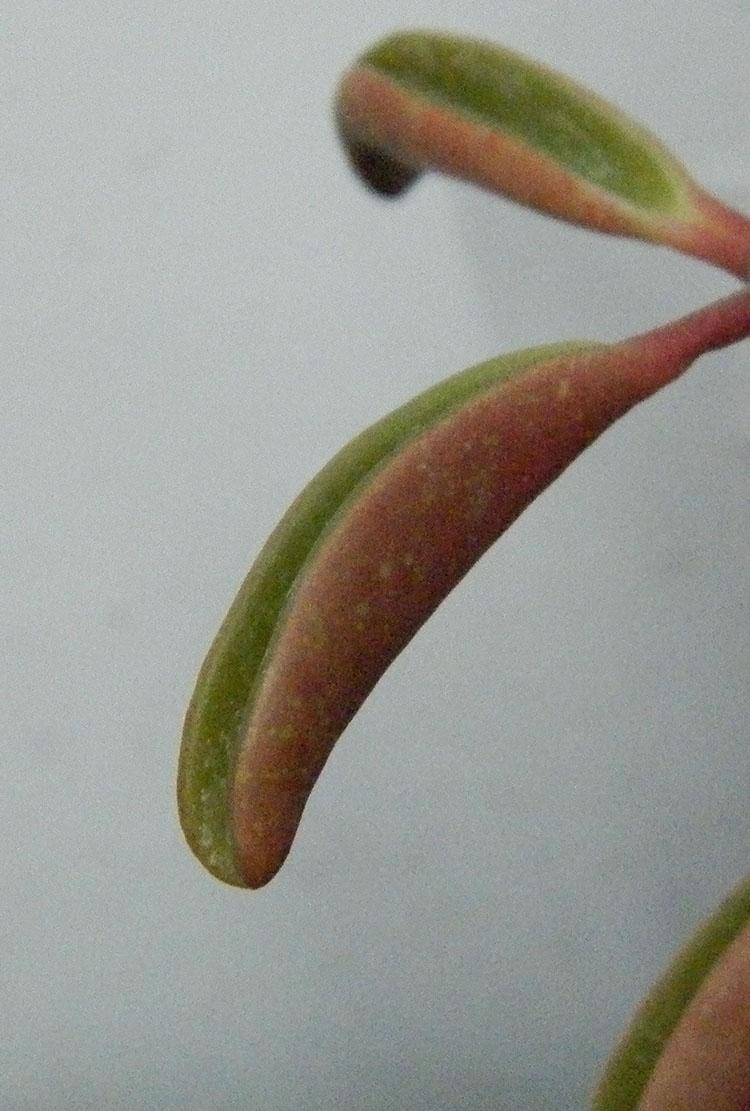Листья Peperomia graveolens