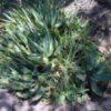 Aloe saponaria в природе