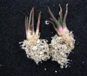 Arioc.agavoides ssp.sanluisensis.