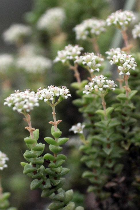 Зименее цветение Crassula rupestris