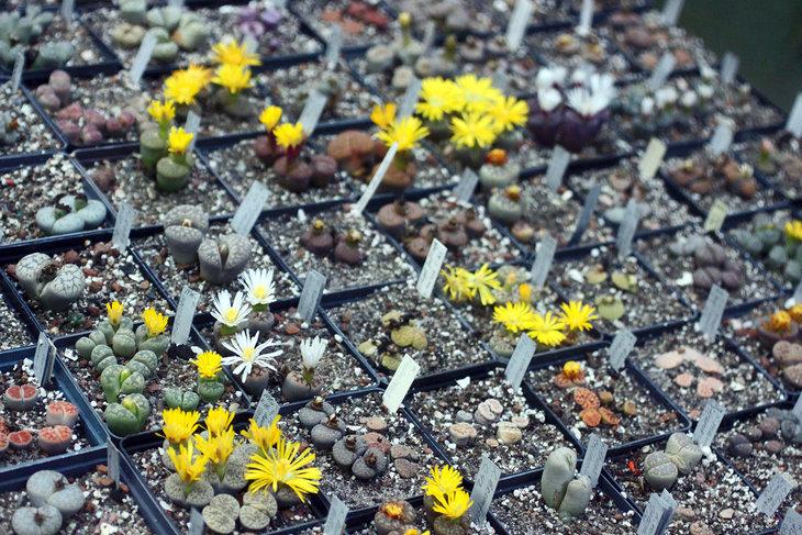 Литопсы цветут с конца лета и до глубокой осени