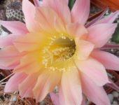 неукорененная детка Echinopsis BUM 53 , d = 2 см