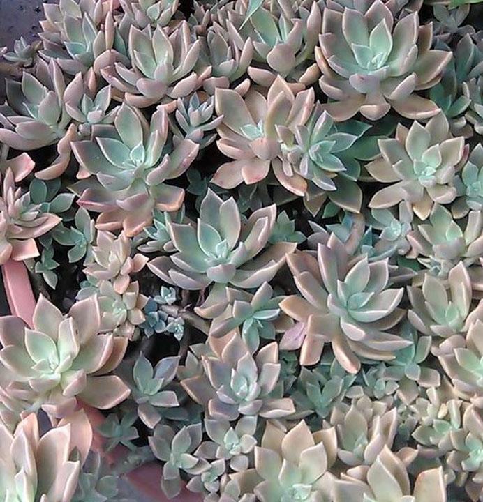 Graptopetallum paraguaense