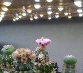 Astrophytum asterias 'Kikko Turtles'