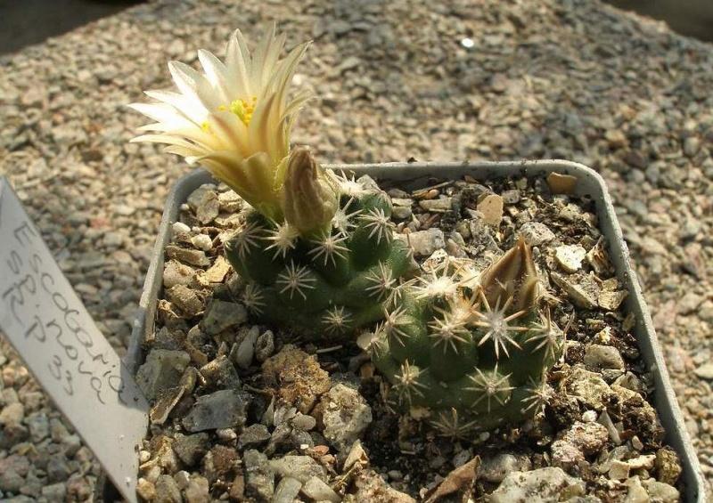 Escobaria sp. nova RP 33