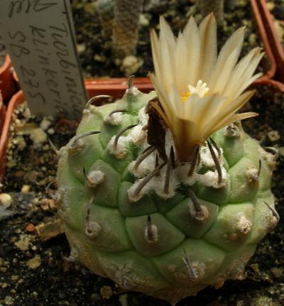Turbinicarpus klinkerianus SB275