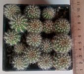 Echinopsis sp.(малиновый цветок)