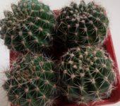 Echinopsis niedderrhein х bonzo