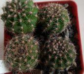 echinopsis bonzo х a2