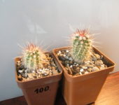 Echinocereus ferreirianus v. lindsayi