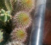 notocactus sp
